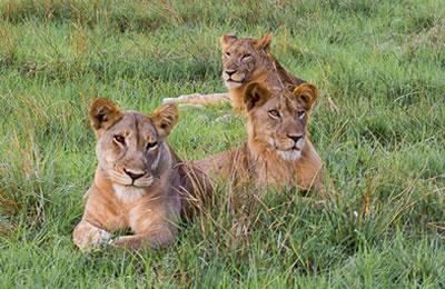 lions-queen-elizabeth-park-1