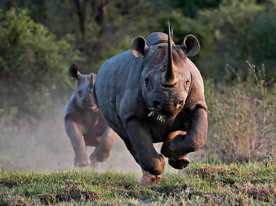 Rhino Walk